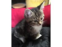 PRETTY PLAYFUL KITTENS FOR SALE