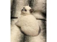 GCCF Reg. Blue Colourpoint British Shorthair Kittens