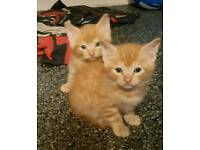 2 beautiful male ginger kittens ready NOW