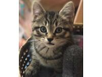 Kittens- persian X ragdoll X tabby