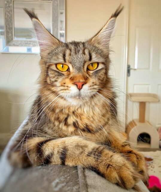Gorgeous mainecoon kittens ready on 14th August last 1 left available to  reserve | in Treharris, Merthyr Tydfil | Gumtree