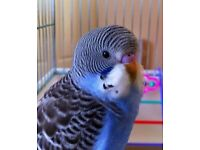 lost over christmas my budgie