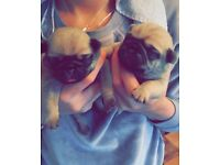 KC registered Pug puppies ❤️