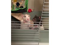 2 Male Rats for Sale