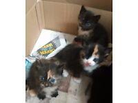 Kitten for sale girl £80 surbiton surrey