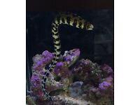 FREE Snow flake moray (marine fish)