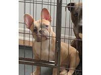 Kc reg blue fawn French bulldog bitch for sale