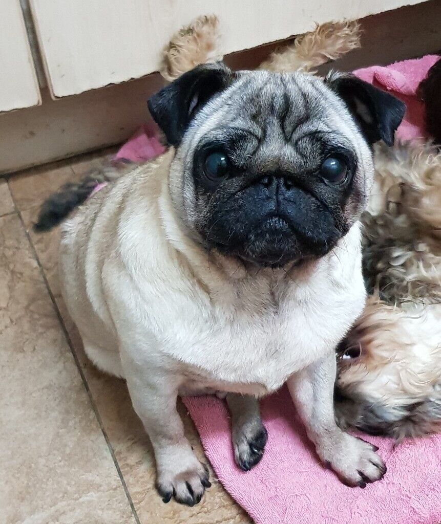 Adorable Fawn Female Pug In Leicester Leicestershire Gumtree