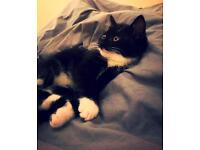 black & white male kitten