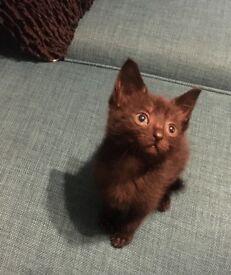 Lovely Ragdoll X kittens for sale mixed litter