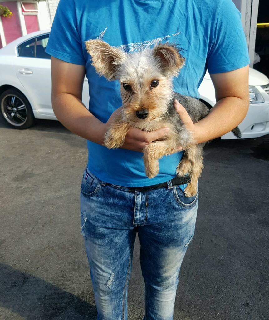 5 Months Old Female Yorkshire Terrier In Portsmouth Hampshire