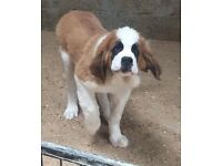 Male St. Bernard pup for sale.