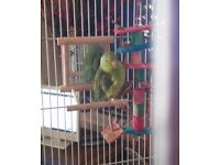 little peep the parotlet is looking for a loving home,with bird/parrot cage