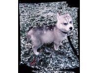 Siberian husky puppy 11 weeks