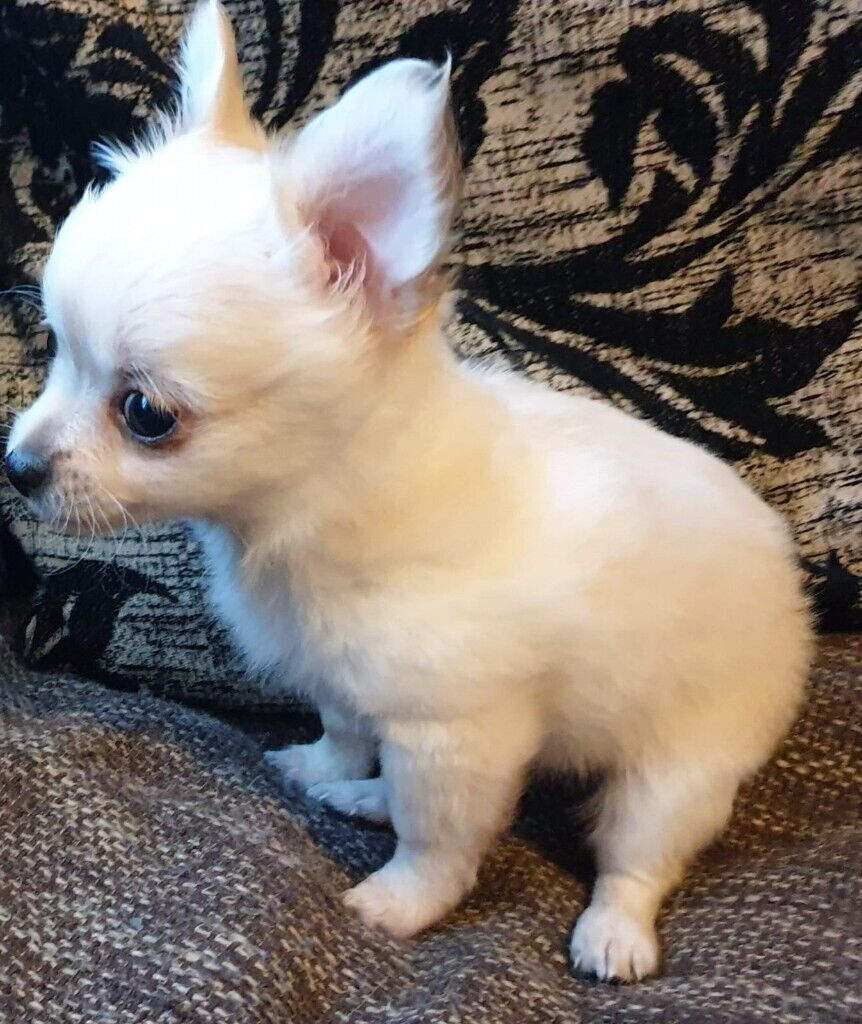 Long Hair Chihuahua Puppies In