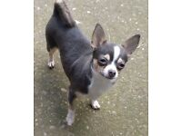 Nice calm 2yrs old chihuahua ......Blue tri.... female
