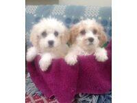 Beautiful Cockershon puppies