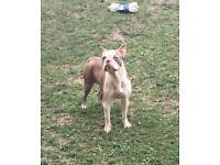 Champaign boston terrier stunning