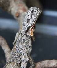 NT Frilled Neck Dragon Juveniles Howard Springs Litchfield Area Preview