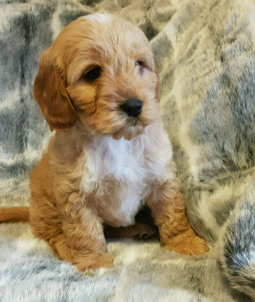 Beautiful Cockapoo puppies for sale | Japan