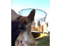Chihuahua cross jack female