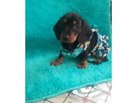 JUST ONE LEFT!!! Black And Tan Mini Girl Dachshund Puppy