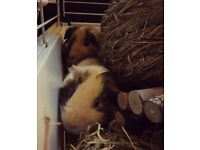 2 Male Guinea Pigs looking for a loving home!