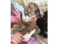 Whippet X bedlington lurcher pups