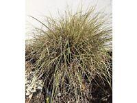 Garden plant- decorative grass Sedge carex - large