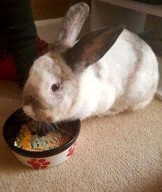 Beautiful French loop rabbit
