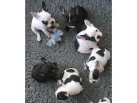 Ready Now! KC French Bulldogs Brindle and Pied