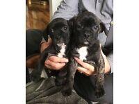 French bulldog x pug (frugs)