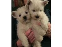 west highland dog pup