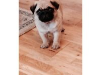Kc Pug puppy, boy 4 months, ex health check
