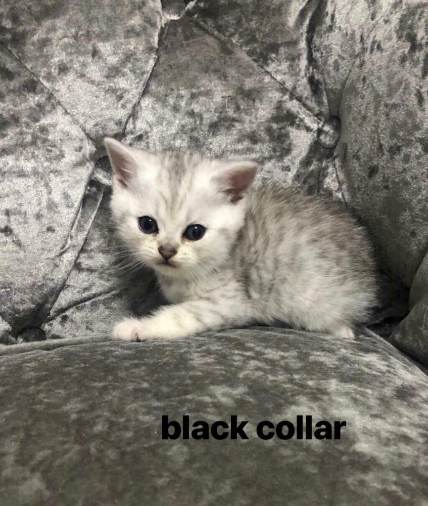 full pedigree british shorthair kittens silver tipped tabby black golden |  in Leicester, Leicestershire | Gumtree