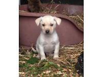 Reduced! Jack Russell X puppies for sale