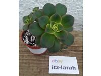 Aeonium HAWORTHII KIWI Succulent With 5 Offsets. *Available To Buy From ebay, Read Description*
