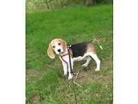 Show type beagle puppy