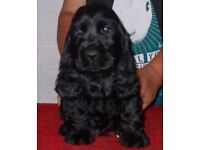 SHOW GOLDEN AND BLACK KC REGISTERED COCKER SPANIEL PUPPIES.DAD AND MUM ARE SHOW WINNERS.