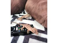 Crested Gecko (Dalmatian Spot) with ExoTerra set up