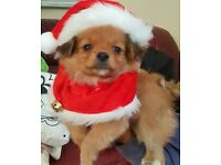 pomeranian/ mini jack Russell puppies for sale