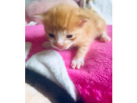 one beutiful ginger and white kitten
