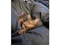 5 month old part Maine coon fluffy kitten