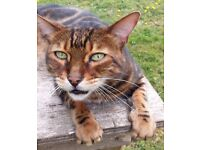 11yr old Marble Bengal missing from Braishfield, Romsey, since 5/9/2016.
