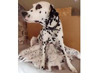 Top Quality Dalmatian Puppies KC Reg, Ready to Go June 30th