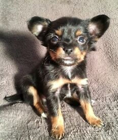 Worlds smallest breed, rare Moscow Toy Terrier puppies now available