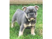 Male Blue & Tan French Bulldog