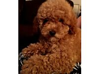 Top Quality Champion Red Toy pure Poodle Girls x they are honestly outstanding bears PRA mum x dad