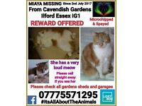 Missing cat Miaya a Ginger and White short hair Tabby effect female been missing since July 2017