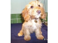 COCKAPOO F1 PUPPY (Female). Gold colour with white trims. Fully vaccinated, vet checked and chipped.